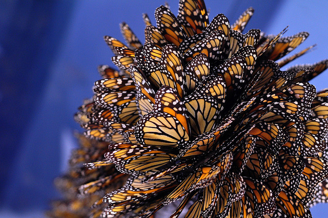monarch butterflies by Ray_Deveau_pics on Flickr.