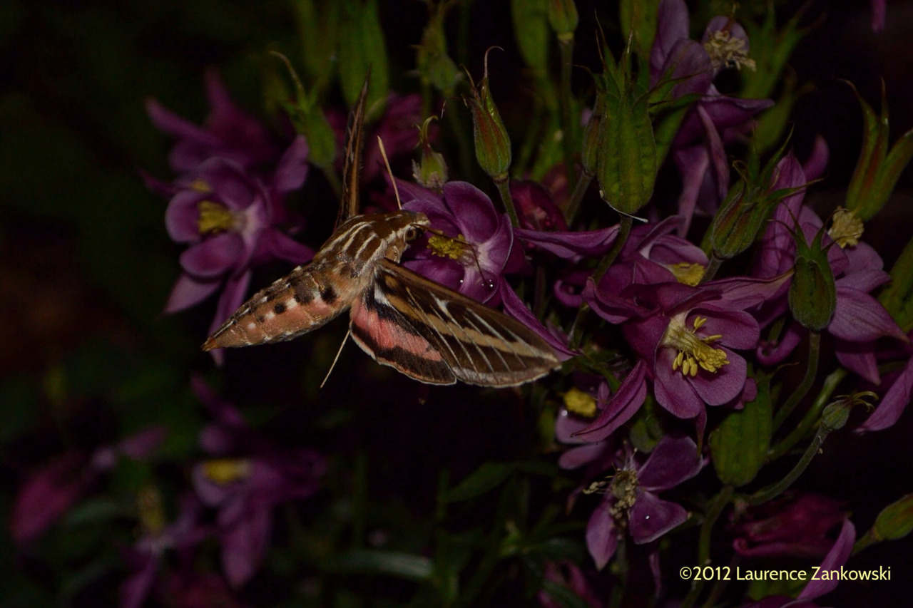 laurencez:  Hummingbird moth in the back garden, Colorado Springs.  Lots of these critters visiting the garden at dusk.   ©2012 Laurence Zankowski