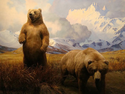 Alaska Brown Bear, American Museum of Natural History, New York