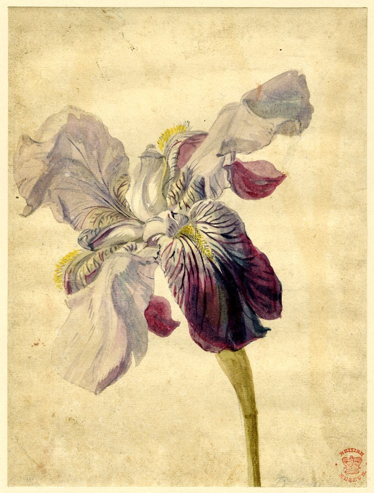 birdsong217:  Jan Van Huysum (Dutch, 1682-1749) Iris Variety, 18th century
