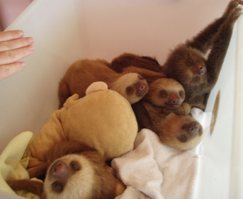 a bundle of baby sloths!  squeeee!