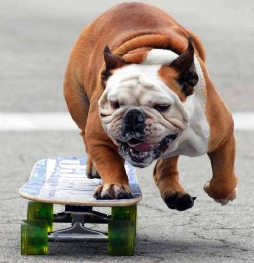 Tillman, the skateboarding bulldog, in action during the Natural Neighborhood Festival hosted by PETCO on April 10, 2010 By:Happy Jack. Todays Cuteness,for the Dog Lovers:)