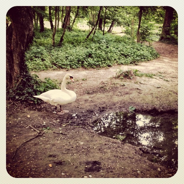 Swan part II (Taken with Instagram at Park Maksimir)