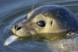 Atlantic Harbor Seal