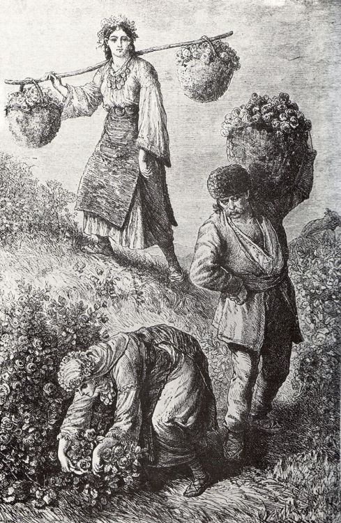Rose picking (1870's), in the rose valley near the town of Kazanlak, Bulgaria. Engraving by Felix Philipp Kanitz, from his book Danubian Bulgaria and the Balkan.