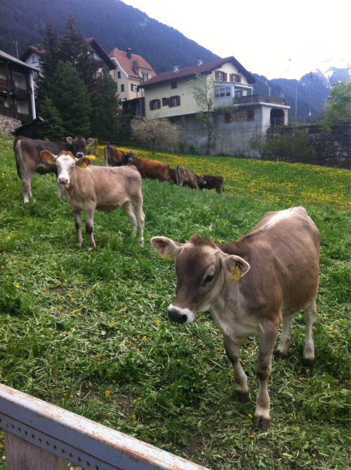 Beautiful cows from Switzerland