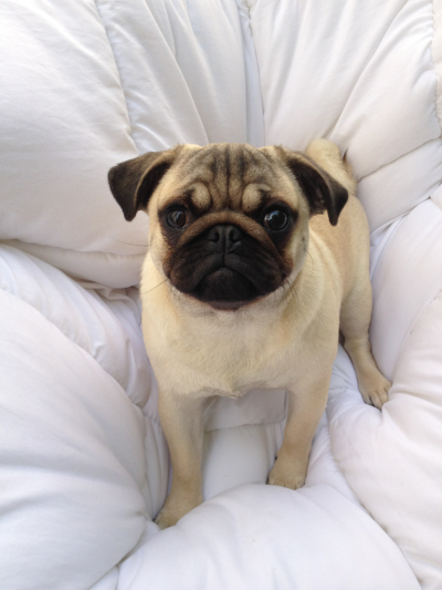 fresqua:  I WANT THIS PUG