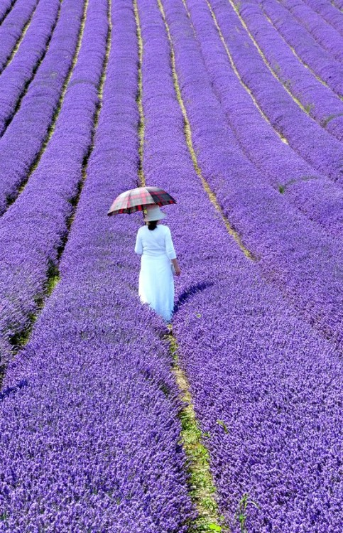 keepcalmandtraveltheworld:  Lavender Fields, Southern France