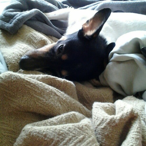 She's decided to stay in bed. #rat_terrier #dog (Taken with instagram)