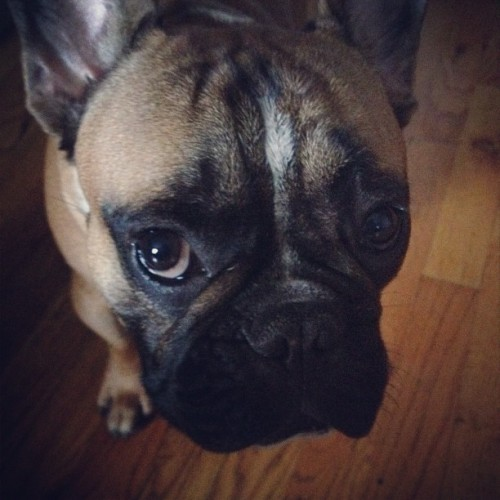 Feels good to be back with the #iMan #frenchie  (Taken with instagram)