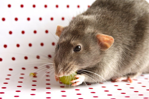 rat-it-to-me:  My Grape by ~Sian44
