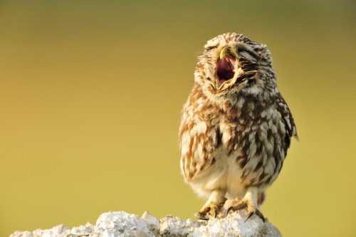 Yawning Little owl by Yves Adams