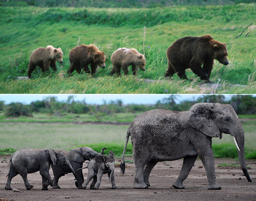 Who is cutest at playing follow the leader? Bear Cubs OR Baby Elephants? Bear Image (ALASKA STOCK IMAGES)  Elephant Image (Ding Haitao)