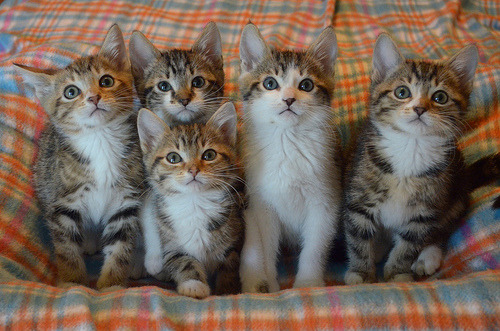 catsbeaversandducks:  Tabby Party! Photo by ©The Itty Bitty Kitty Committee