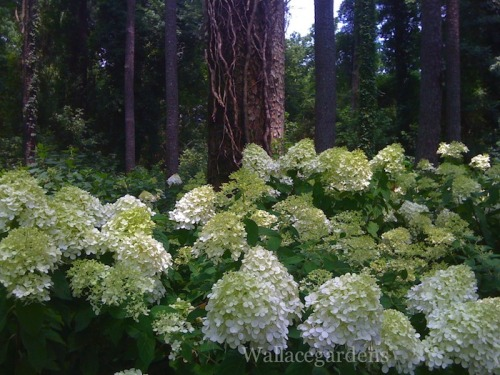 Kidnapped by Hydrangeas…..it happens every year.