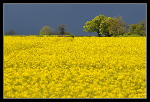 Sea of yellow….. by I Love Poppies (Away) on Flickr.