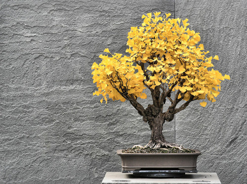 chicagomademe:  Ginkgo Bonsai Tree