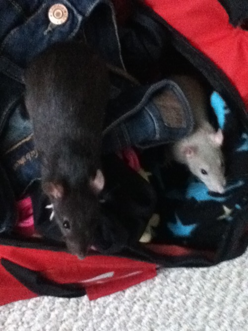 Had to leave my rats for a few days while I visited my cottage (I had somebody taking care of them). From the photo you can see they tried to sneak into my suitcase;). But in all seriousness, leaving them for a few days has really made me realize how much I've grown attached to them. I had nightmares about them getting lost while I was away, and when I came back I gave them the biggest hug ever (hopefully I didn't squish them too much:S). I LOVE MY RATS.