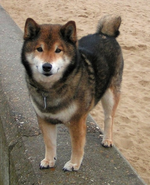 ember-frost:  Gotta love Shiba Inus  honey, we gotta adopt one.