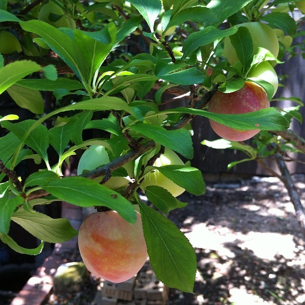plantingart:  Plums (Taken with instagram)