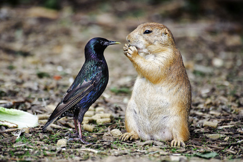 "earth-song:  ""Jerky Starling and the Imperturbable Prairie Dog"" by Scott Spaeth"