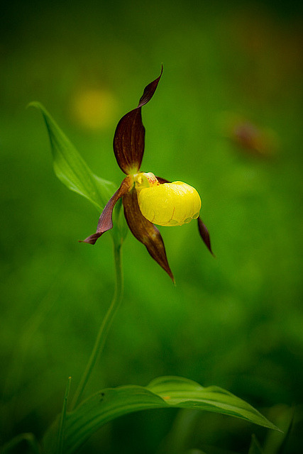 ninbra:  Lady's Slipper.