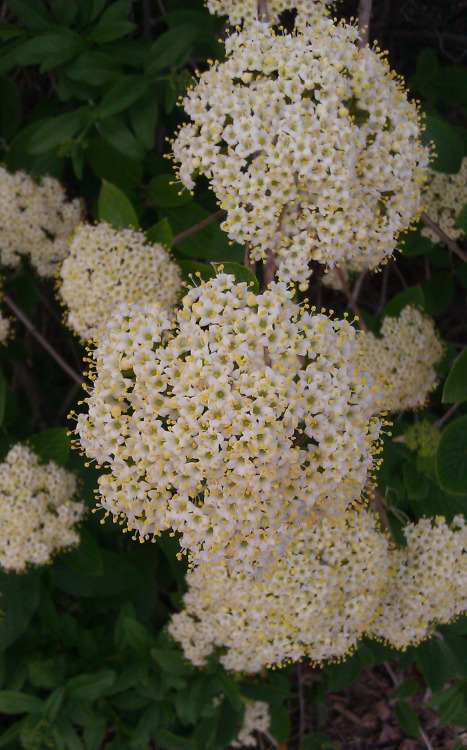 """Ring Like a Crown"" Viburnum prunifolium © Sugared Impressions 2012"