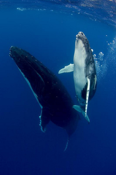 Humpback Mother and Calf by scott1e2310 on Flickr.