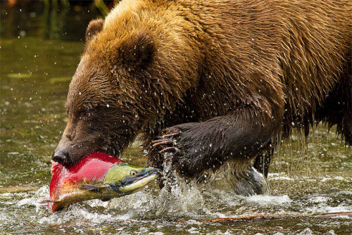 thepredatorblog:  Bear Necessities (by Stephen Oachs)