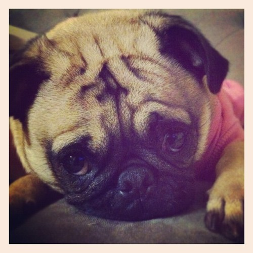 pugsofinstagram:  Hello Chloe! Please follow @igznacio & @apeigz ! #pugsofinstagram #pugs #pug (Taken with instagram)