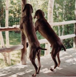 margeauxstcroix:  William Wegman Back Porch, 2004