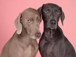 William Wegman Pen Pals, 2008