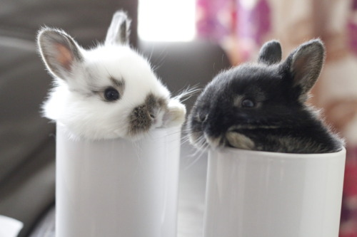 dailybunny:  Care for a Mug of Bun? Thanks, jessicalangphotography!