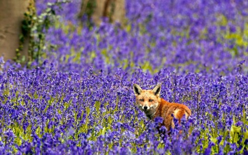 theanimalblog:  A fox is pictured in a sea of bluebells. The scene was captured by wildlife photographer Brian Bevan near his home in Potton, Biggleswade, Bedfordshire. He rescued the orphaned vixen after her mother was hit by a car and killed.  Picture: BRIAN BEVAN / ARDEA / CATERS