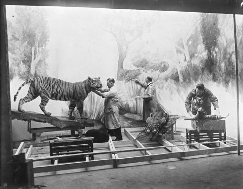 Museum staff at work on the Tiger Diorama in the Hall of Asian Mammals, February 1934