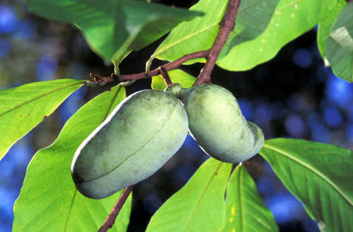 Pawpaw (Asimina triloba)  Pawpaws produce an edible fruit that Ms. Maruskin described tasting like a cross between a banana, mango, and a hint of strawberry. I've never actually had one of these before so I can't attest to its taste. Kentucky State University in Frankfort has a great website for anything you'd ever like to know about pawpaws at http://www.pawpaw.kysu.edu/. *photo courtesy of USDA*
