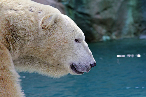 lionstigersnbears:  Polar Bear (by A Train)