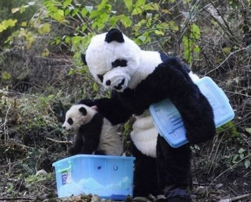 "thedailywhat:  Morning Fluff: Researchers in China donned panda suits last month to help a 21-month-old panda and its mother transfer to a new home; the costumes were meant to ease the process by limiting the animals' interaction with humans. And the real pandas were like: ""Really? How dumb do you think we are?"" See the rest of the ridic pics here. [mercnews]  Dressing like a panda + handling real-life pandas = An AWESOME day."