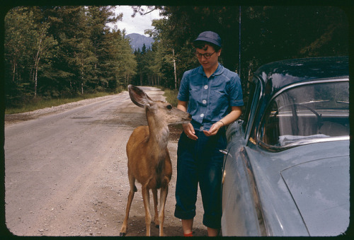 Dolores, the Studebaker, and a friendly deer near Jasper, on the road to Lac Beauvert, Jasper National Park, Alberta, Canada, summer 1955.