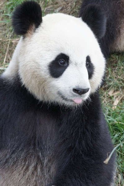 fuckyeahgiantpanda:  Huan Huan at the Chengdu Research Base of Giant Panda Breeding on January 10, 2012. Huan Huan now lives at ZooParc de Beauval. © Yumikaji15.