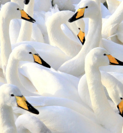 fairy-wren:  whooper swans (photo by helgi skulason)
