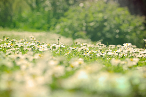 Field of daisies on Flickr.