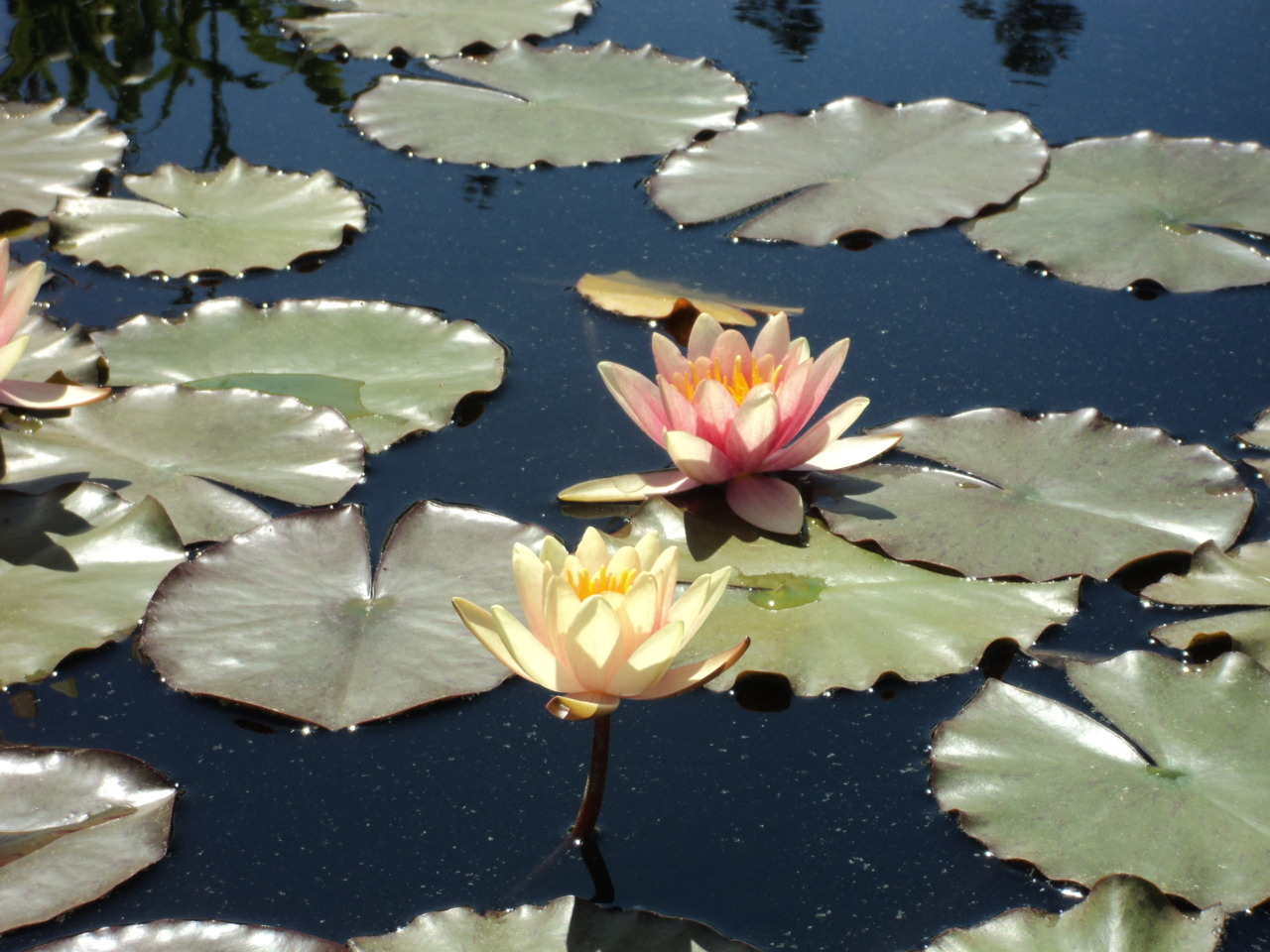Water lilies.Photo by me.