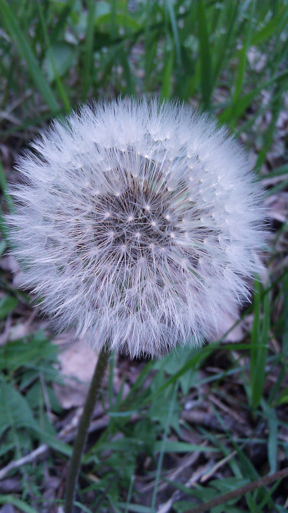 """Light as Air"" Taraxacum officinale © Sugared Impressions 2012"
