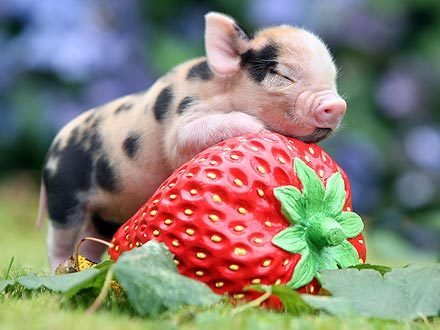 fuckyeahcuteanimalss:  (via Micro-Piglet Hugs a Strawberry : People.com)