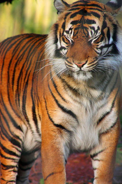 (via Sumatran Tiger. | Flickr - Photo Sharing!)  You have to follow this blog, it's really awesome!