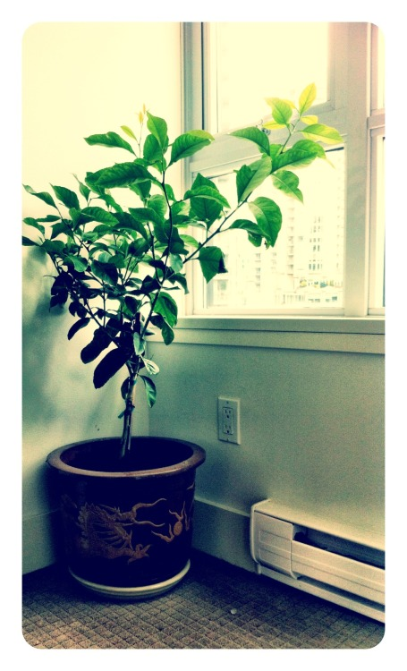 This is my new office plant Liz the Lemon Tree.  All photos taken with iPhone by Becoming Lemonade.