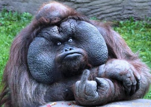 "collegehumor:  Grumpy Ape Gives Middle Finger ""I got your banana right here!"""