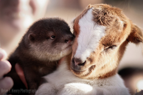 I know it's Monday so here's an otter showing some love to a baby goat.